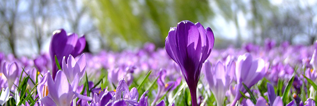 crocus-fleurs-floraison-printemps-mars-00-ban