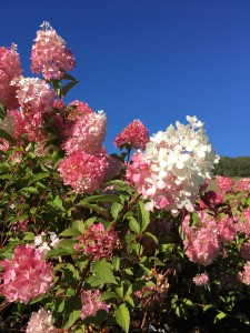Hydrangea 'Vanille Fraise'